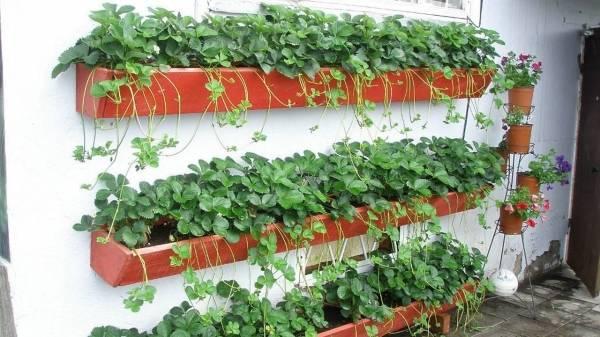 Выращивание клубники вертикальным способом на небольших участках