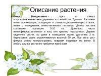 Фикус - приметы и суеверия для дома: можно ли держать его в квартире, как он влияет на беременность, к чему зацвел, и что будет, если подарить цветок или принять его в качестве подарка?