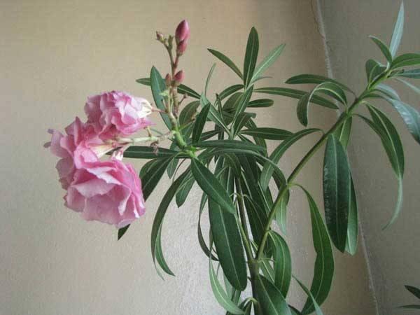 Читайте больше об уходе за олеандром в домашних условиях и узнайте, можно ли держать  ядовитое растения дома
