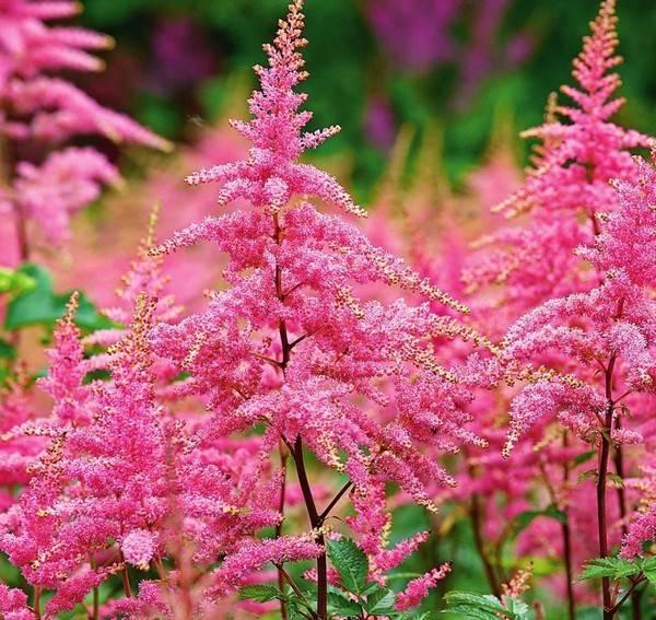 Цветок астильба: посадка и уход в открытом грунте, сорта с фото и названиями