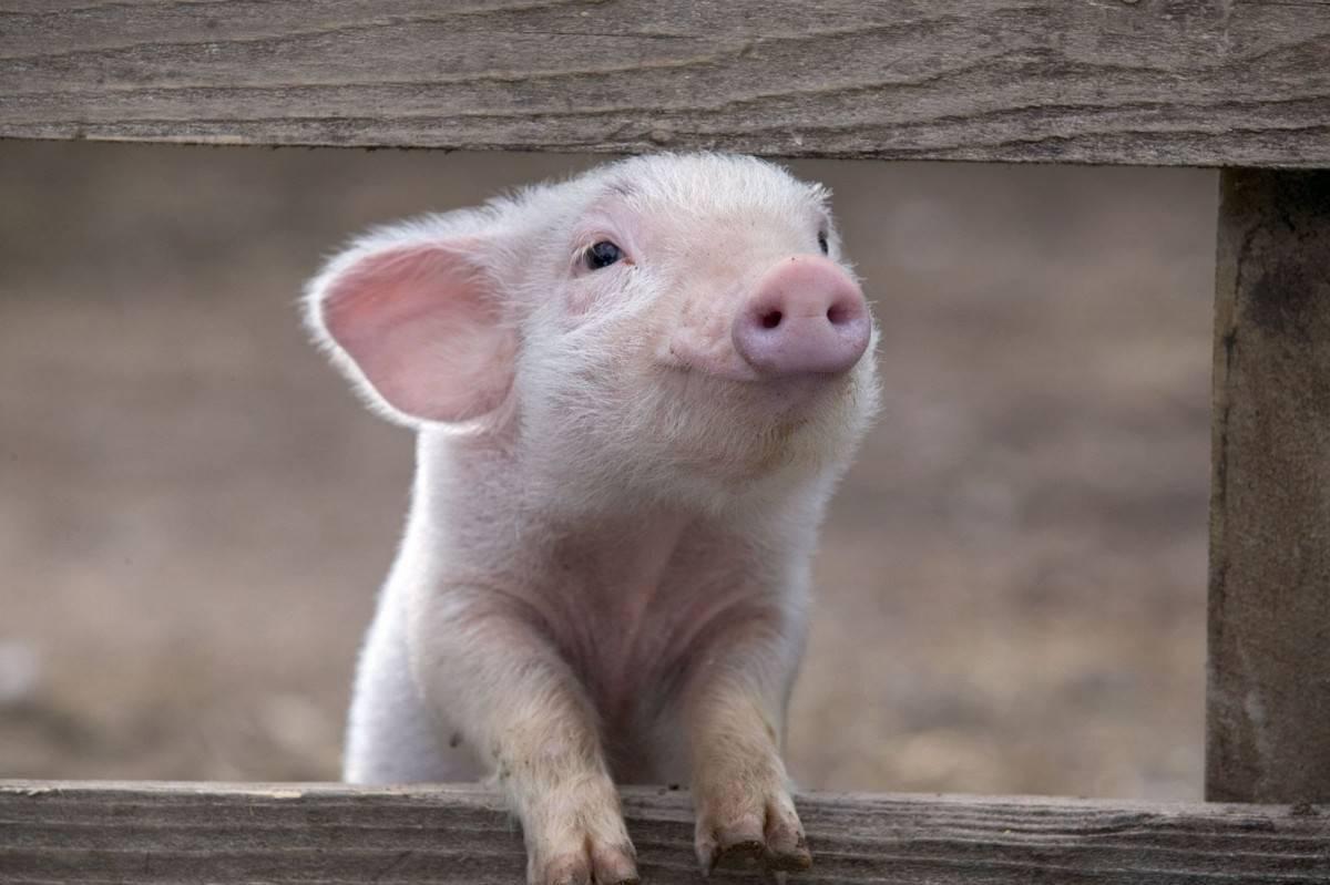 Свинарник своими руками: постройка стайки для свиней, вентиляции и пола