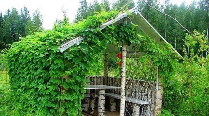 Выращивание винограда на беседке советы и фото на supersadovnik.ru