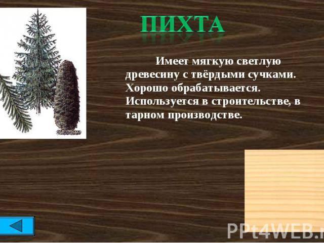 Пихта— характеристика и особенности различных видов