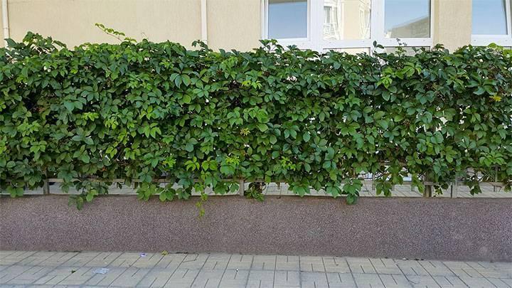 Быстрорастущие вьющиеся растения для дачи многолетние - всё о воротах и заборе