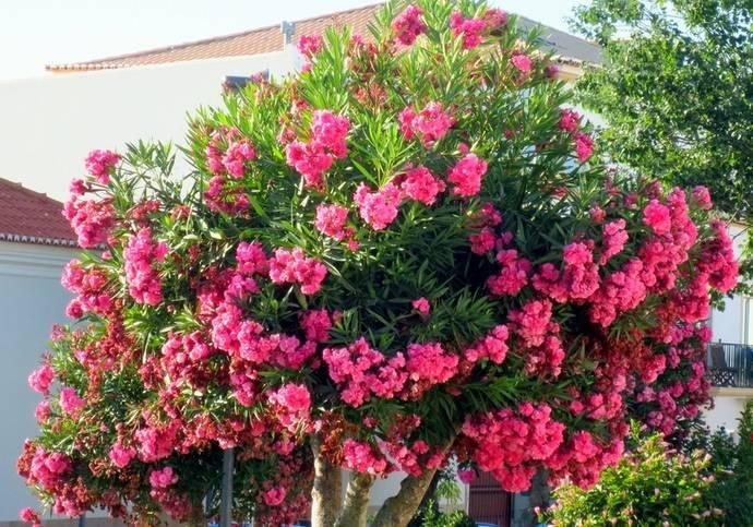 Олеандр: уход в домашних условиях, обрезка, фото комнатного цветка, сорта, можно ли держать дома, как посадить, вырастить