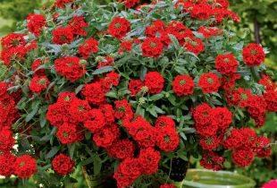 Что такое декоративное растение вербена и каковы особенности ухода за культурой: фото цветов красивого растения