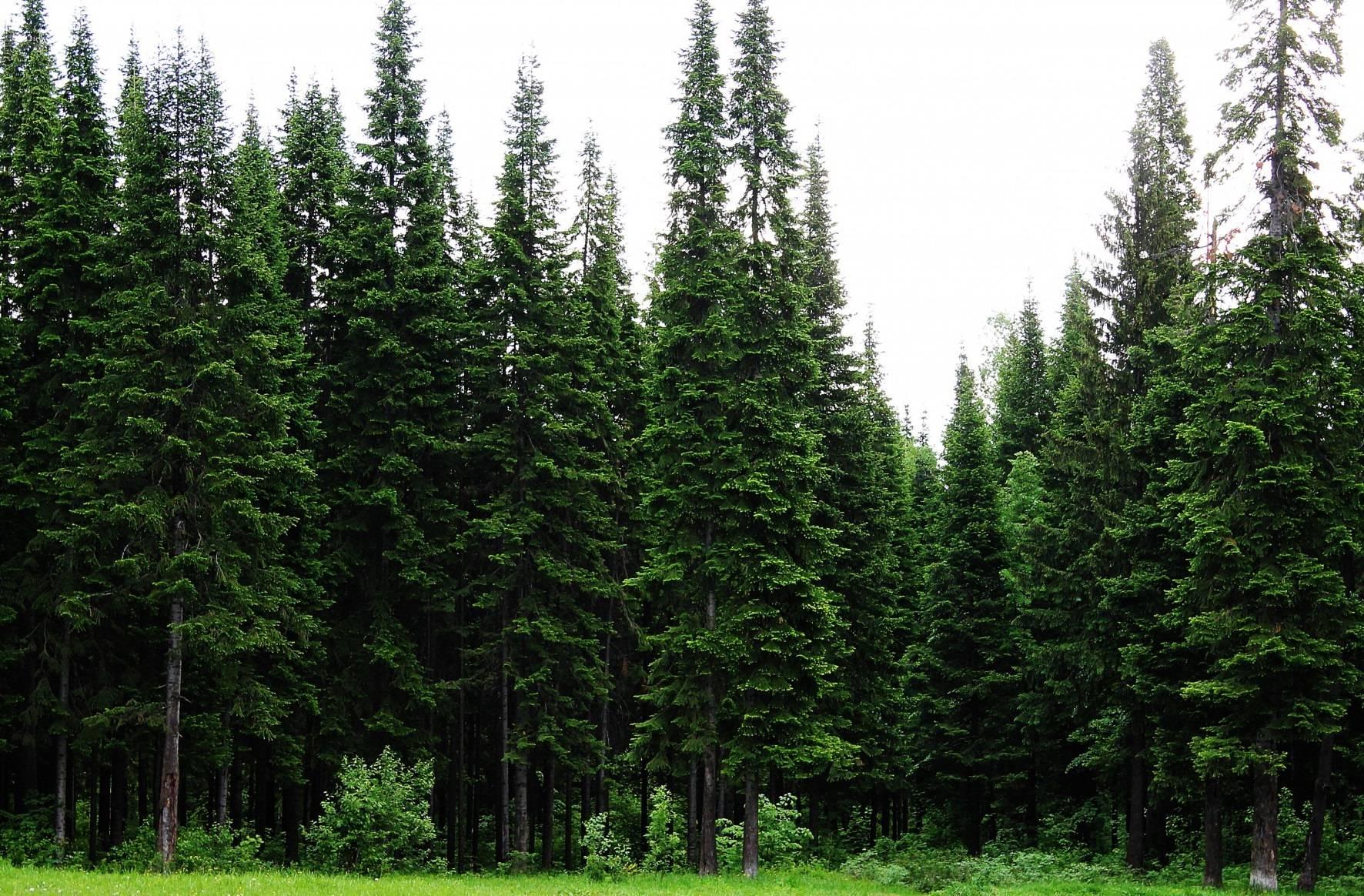 Пихта сибирская – полезные свойства и противопоказания