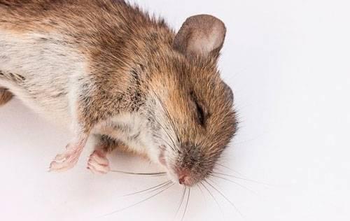 Мыши под полом: обзор лучших вариантов избавления от ненавистных грызунов