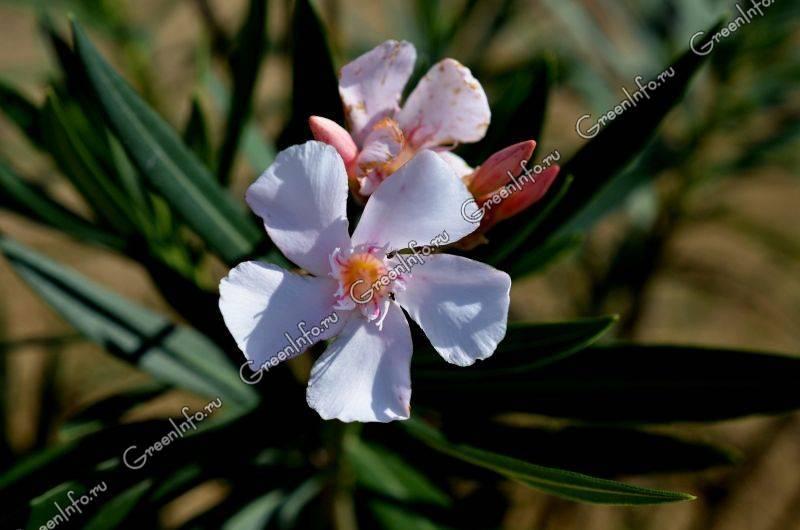 Олеандр (nerium). описание, виды и уход за олеандром
