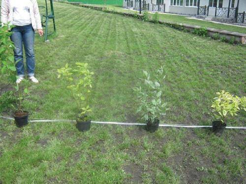 Живая изгородь:виды, устройство, растения, обрезка, фото, видео
