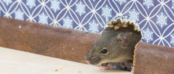 Какой утеплитель не грызут мыши и крысы: обзор материалов для защиты от грызунов