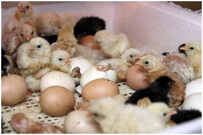 Как сделать инкубатор своими руками: что нужно для разведения цыплят в домашних условиях