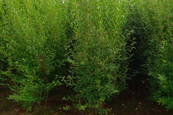 """Как вырастить живую изгородь: правила и советы - проект """"цветочки"""" - для цветоводов начинающих и профессионалов"""