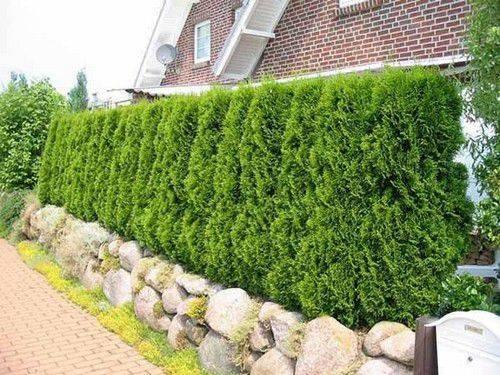 Как сделать живую изгородь своими руками: растения и кустарники для живой изгороди на даче