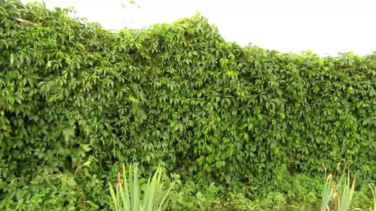 Вечнозеленая многолетняя быстрорастущая живая изгородь