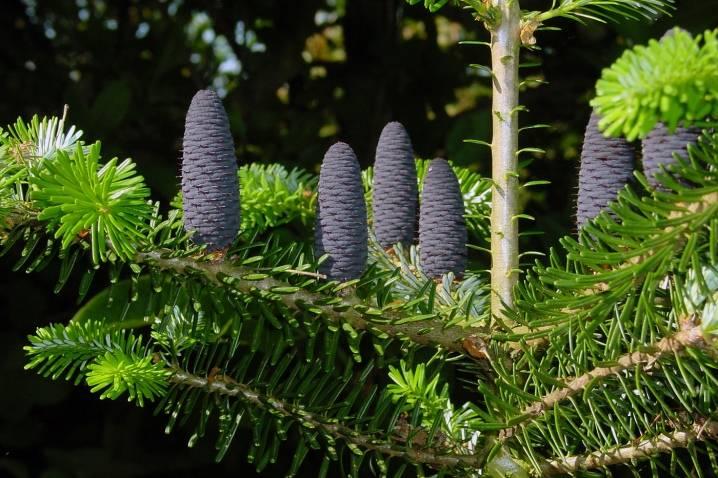 Пихта: выращивание и уход в открытом грунте.