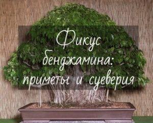 Фикус бенджамина в домашних условиях. уход, выращивание, размножение, пересадка. фото — ботаничка.ru