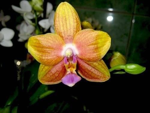 Можно ли вырастить орхидею из листа: сможет ли цветок дать корни, нужно ли укоренить и как посадить листочек без корней в воду в домашних условиях, фото и видео от специалистов
