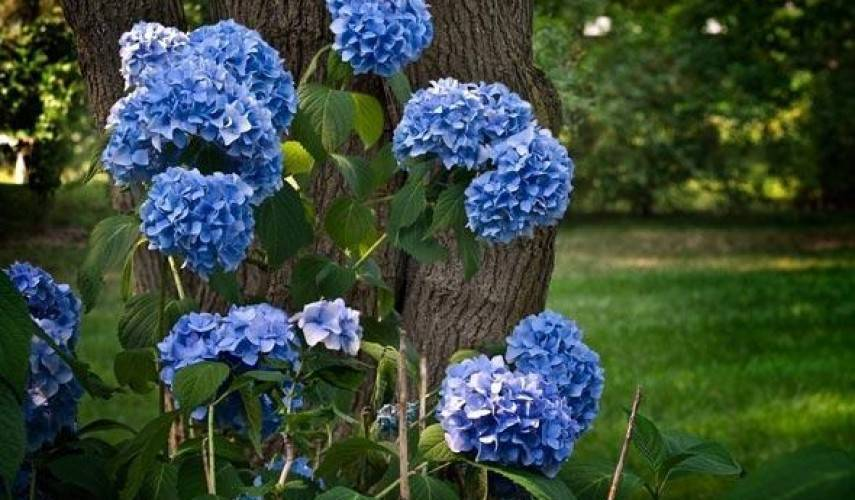 Можно ли вырастить гортензию дома в горшке? чем подкормить гортензию для цветения? гортензия: посадка и уход
