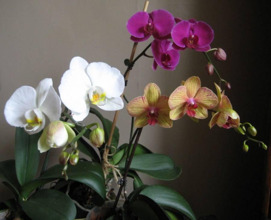 Цветок орхидея — рекомендации по уходу в домашних условиях, полезные советы + фото