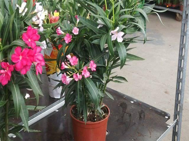 Олеандр (46 фото): описание и выращивание комнатного цветка, способы размножения растения, обыкновенный, махровый и другие виды, обрезка