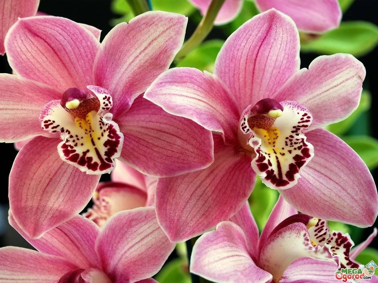Как рассадить орхидею – пошаговый алгоритм с фото