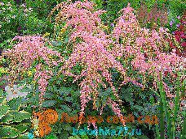 Астильба арендса — эффектное украшение сада: выращивание и использование в ландшафтном дизайне