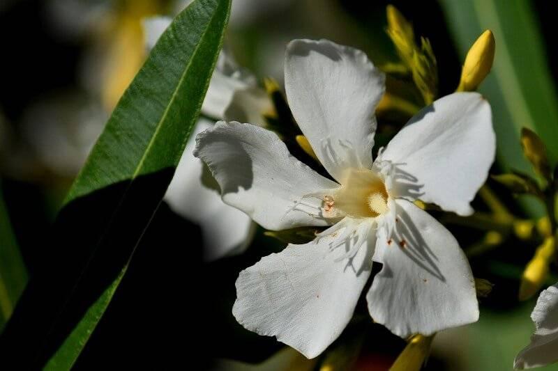 Тропические цветок олеандр: уход в домашних условиях, пересадка и размножение