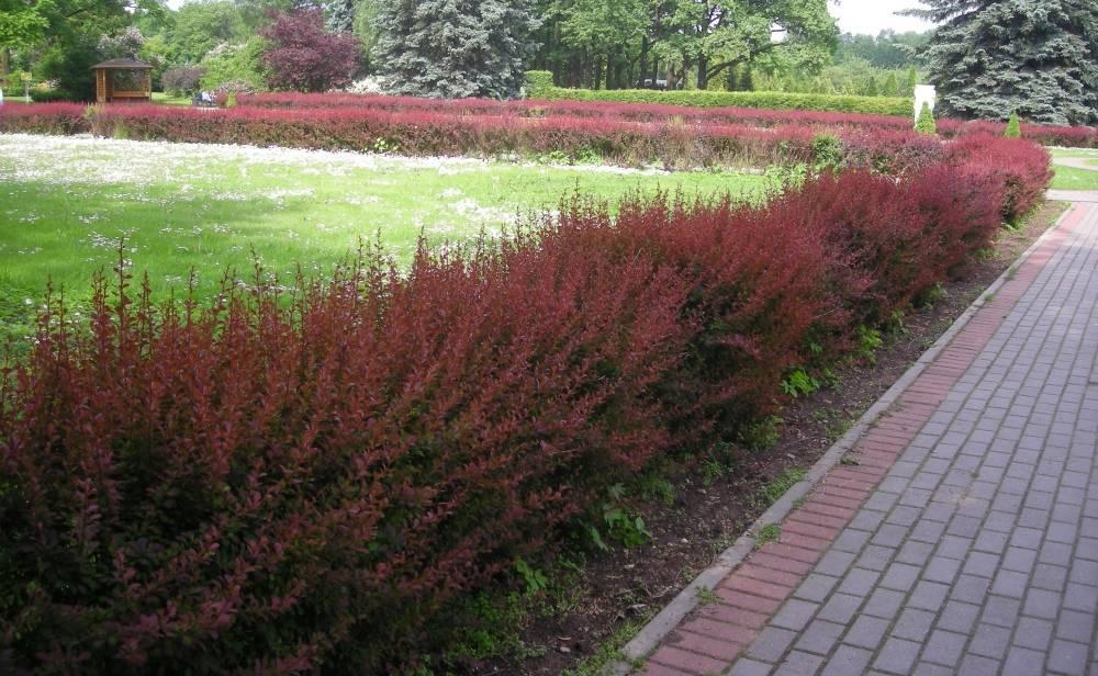 Живая изгородь на участке - 170 фото вариантов посадки быстрорастущих растений