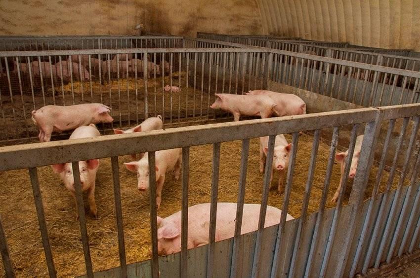 Пошаговое описание строительства свинарника своими руками, требования к помещению, особенности планировки