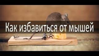 Как избавиться от мышей: народные и современные безопасные средства