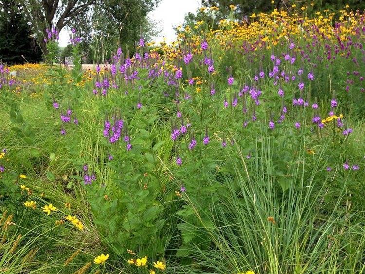 Вербена: выращивание из семян, уход и посадка в открытый грунт, фото
