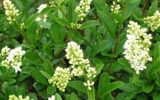 Живая изгородь из бирючины обыкновенной: секреты садовода, посадка, размножение, обрезка и формирование кроны