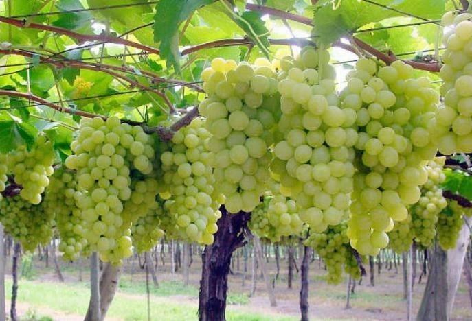 Как сделать своими руками беседку для винограда