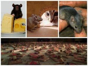 Как избавиться от мышей в частном доме навсегда быстро и эффективно: народные и другие средства