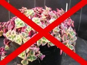 Какие домашние цветы нельзя держать дома: причины, приметы и вредные комнатные растения