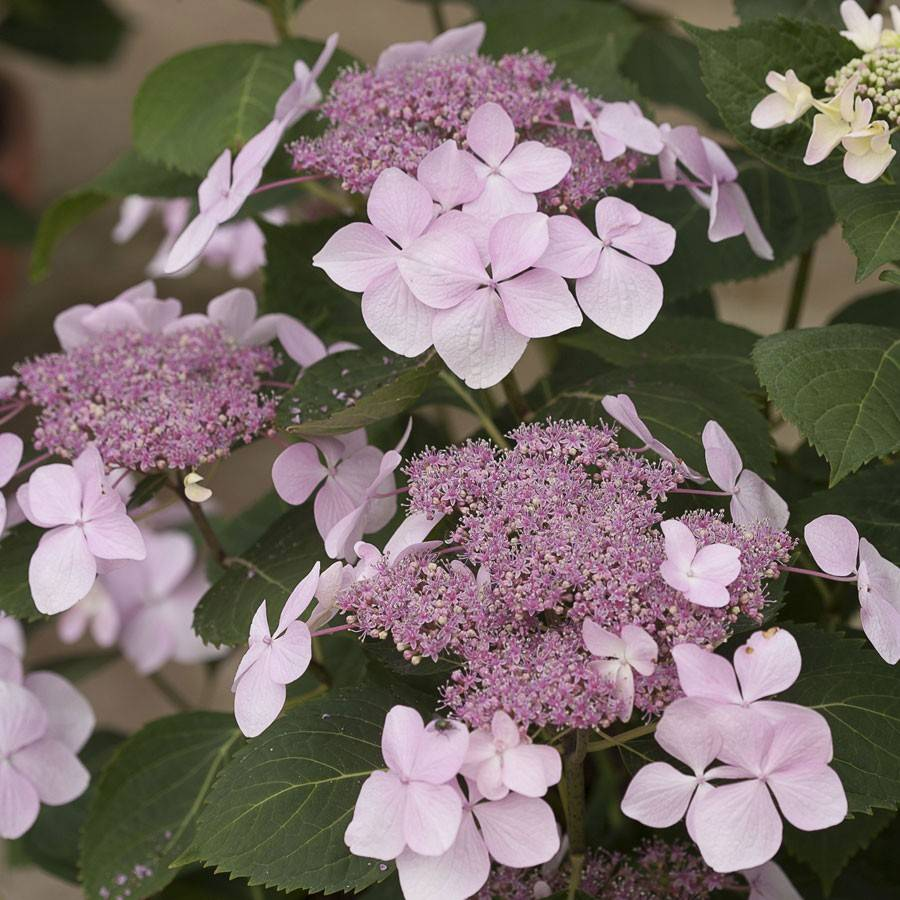 Гортензия — обзор рекомендаций экспертов как сажать, выращивать и ухаживать за цветком