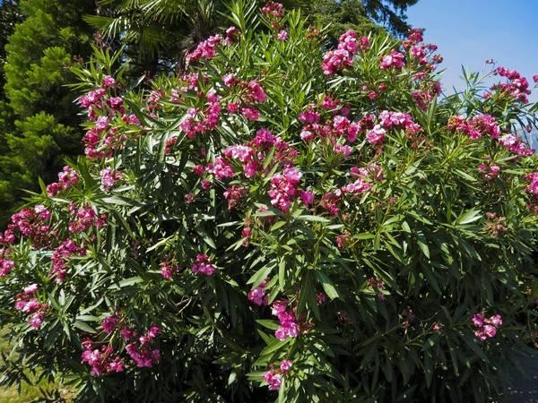 Цветок олеандр: сорта, выращивание и уход в домашних условиях, пересадка, размножение, фото