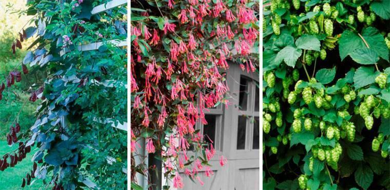 Многолетние вьющиеся растения для сада: названия и фото цветов