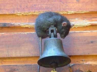Как отпугнуть мышей из дома навсегда