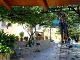 Виноград для беседки: обзор лучших сортов винограда которые можно вырастить в беседке | огородники