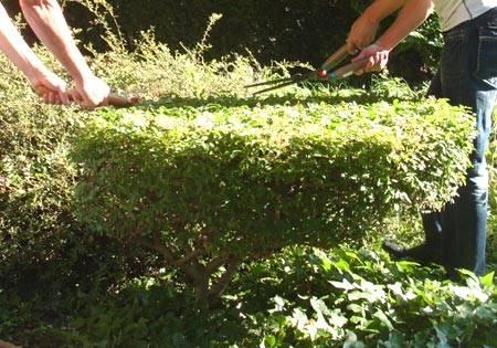 Посадка живой изгороди своими руками: инструкция