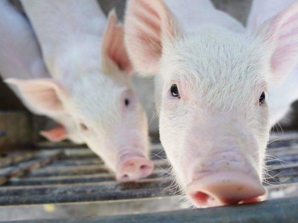 Свинарник своими руками: схемы, чертежи, устройство