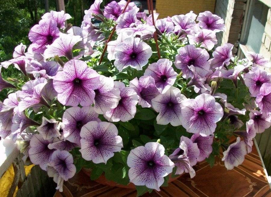 Петунии: выращивание, посадка, виды рассады и особенности ухода