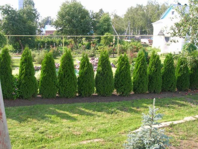 Особенности посадки живой изгороди