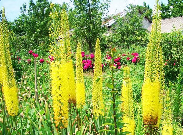 Вьющиеся растения для забора: быстрорастущие многолетние и зимостойкие