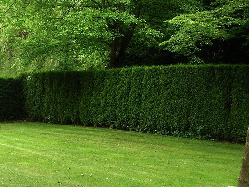 Живая изгородь на даче своими руками: какие растения выбрать? - огород, сад, балкон - медиаплатформа миртесен