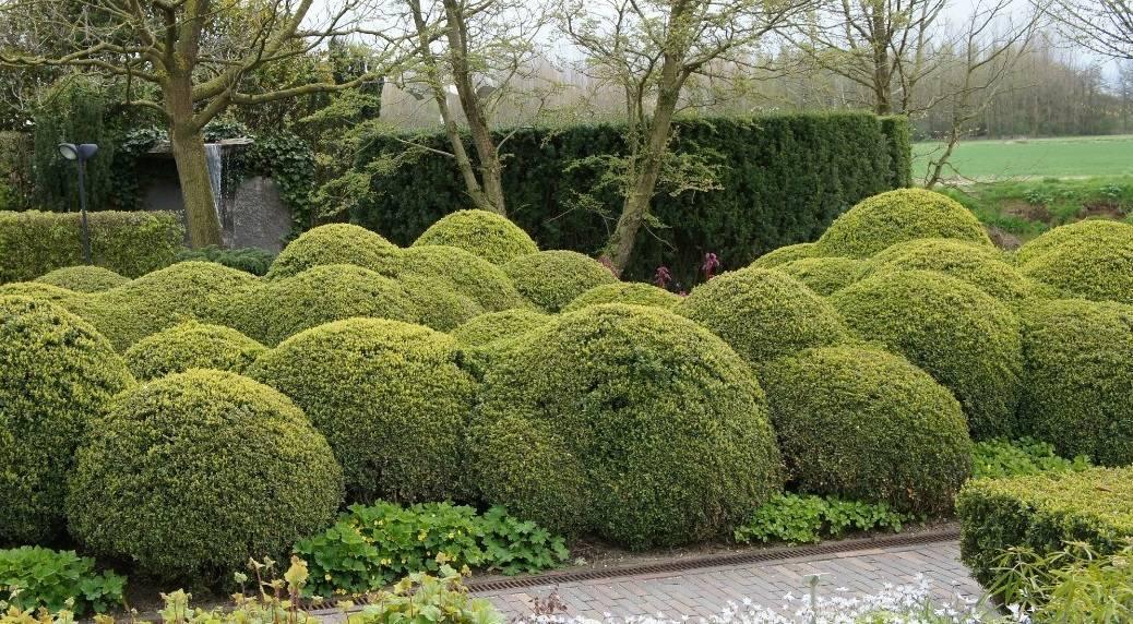 Живая изгородь - применение в ландшафтном дизайне быстрорастущих растений (105 фото)