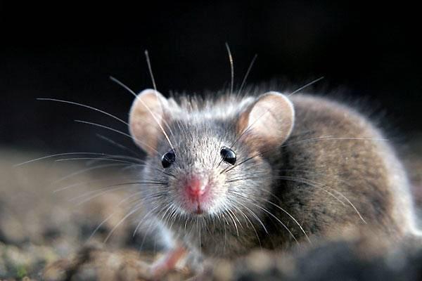 Как избавиться от мышей в квартире навсегда: проверенные средства