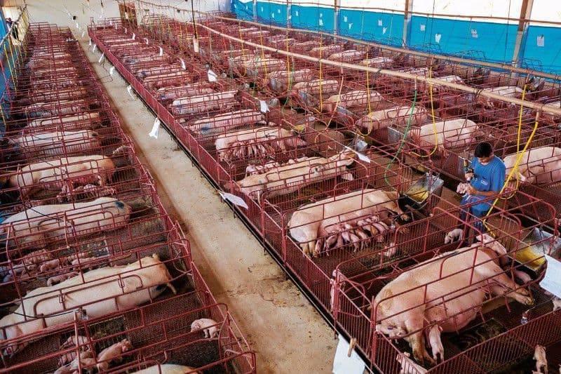 Сарай для свиней своими руками: чертежи, фото, список стройматериалов